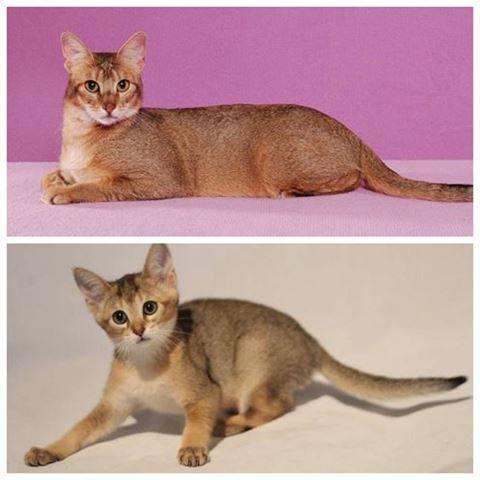 Все что нужно знать о породе кошек чаузи: особенности обозначений f1-f5