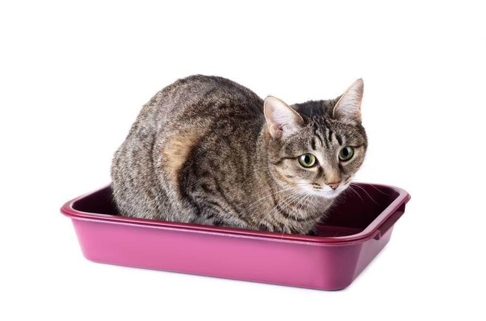 Как приучить котенка ходить в лоток быстро и без лишних нервов