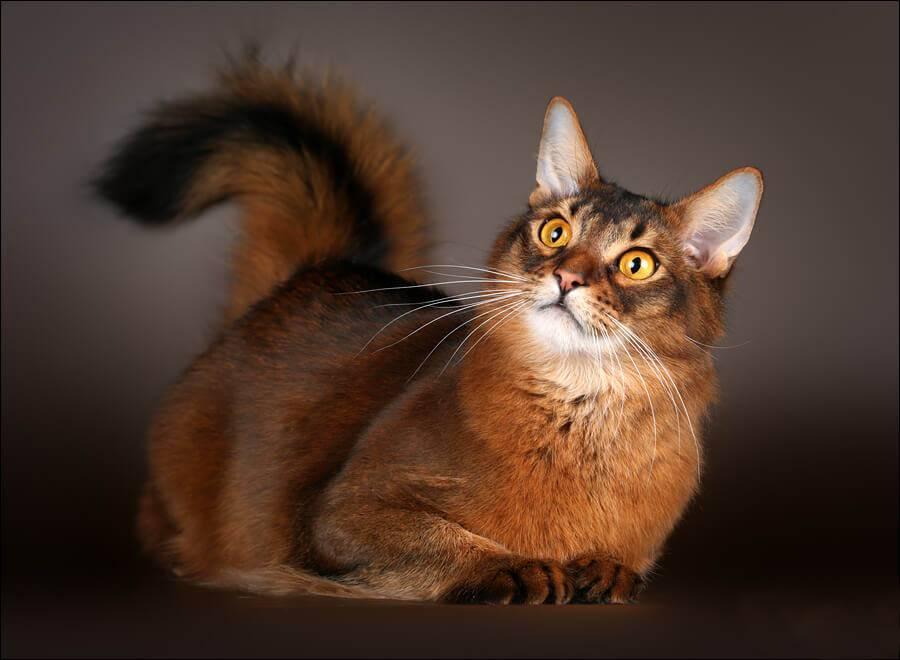 Сомали (somali cat) кошка: подробное описание, фото, купить, видео, цена, содержание дома