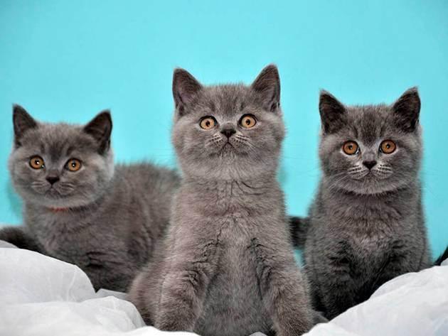 Сколько стоит британская кошка – цена породистого котенка