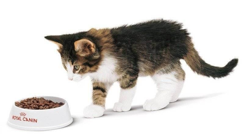 Как приучить котенка есть сухой корм: типичные ошибки