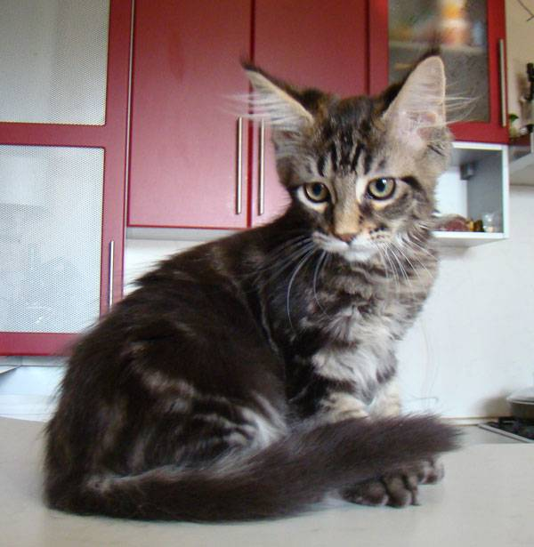 Мейн кун: чем кормить котенка, что нельзя давать