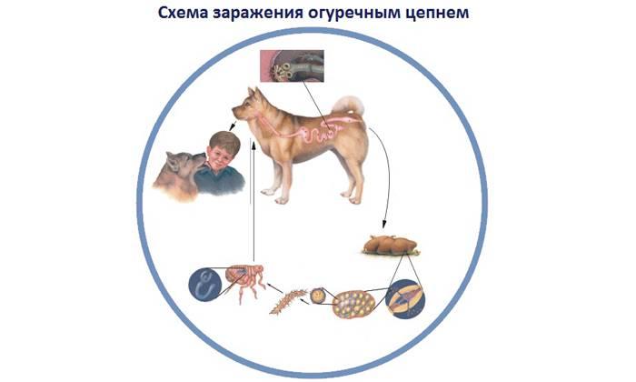 Дипилидиоз (огуречный цепень) у кошек