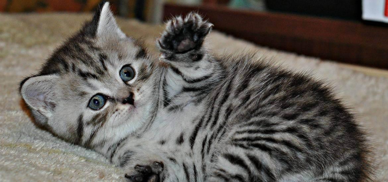 Чем кормить шотландского вислоухого или прямоухого котенка, кошку и кота