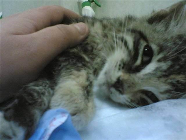 Панлейкопения у кошек: формы заболевания, пути передачи, инкубационный период, лечение народными средствами, вакцинация, кормление и уход за животным