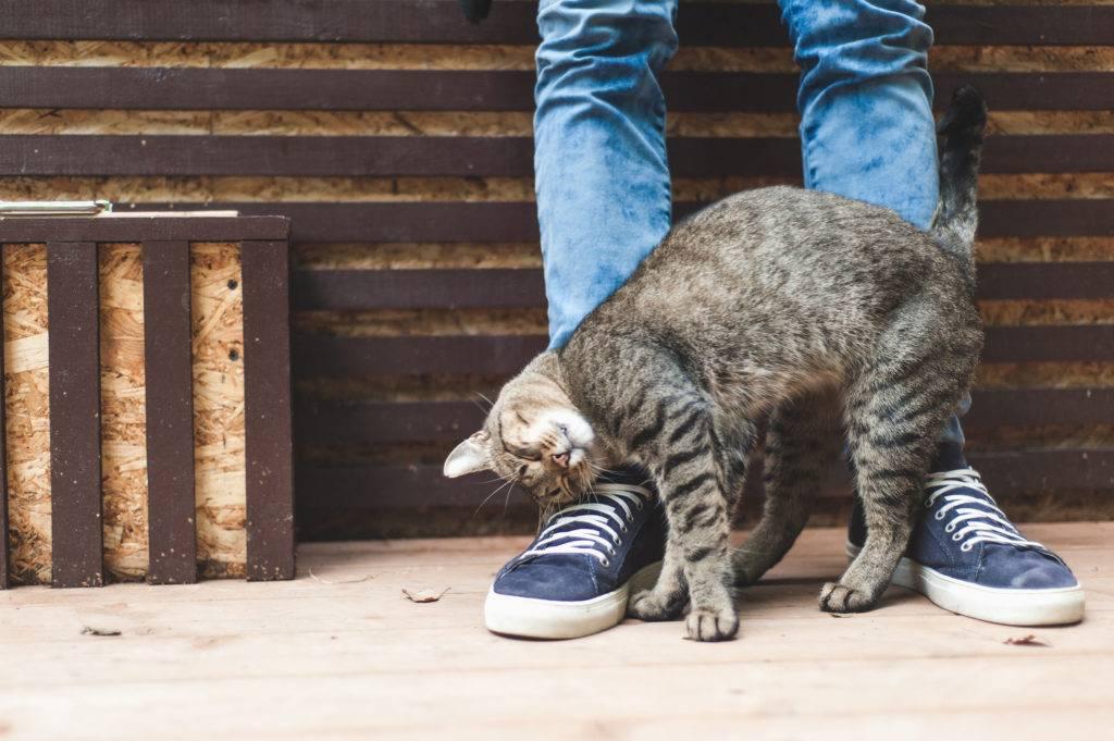 Кошка трется о ноги хозяина – что означает такое поведение, почему котенок лезет мордой в лицо?