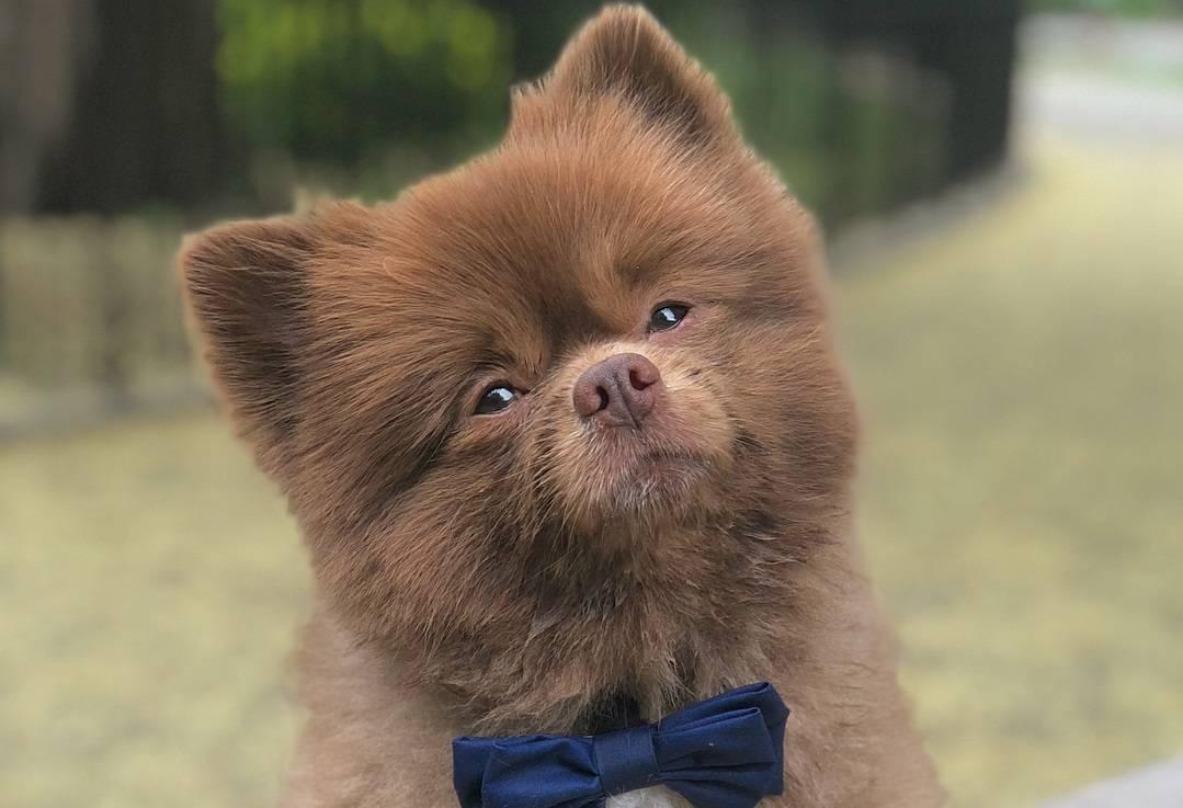 ᐉ 4 породы собак, похожих на медвежонка: фото, описание и стоимость - kcc-zoo.ru