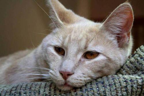 Чумка (панлейкопения) у кошек и котят | симптомы и лечение