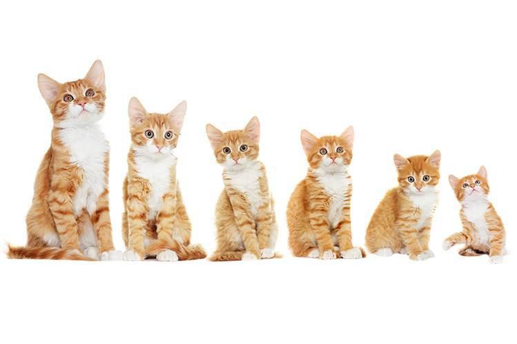 Когда можно давать сухой корм котенку? как правильно переводить животное на сухой корм? возраст для кормления сухими кормами