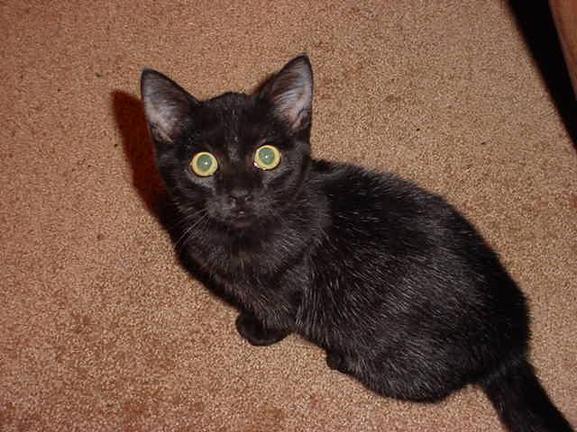 Как назвать сиамскую кошку девочку