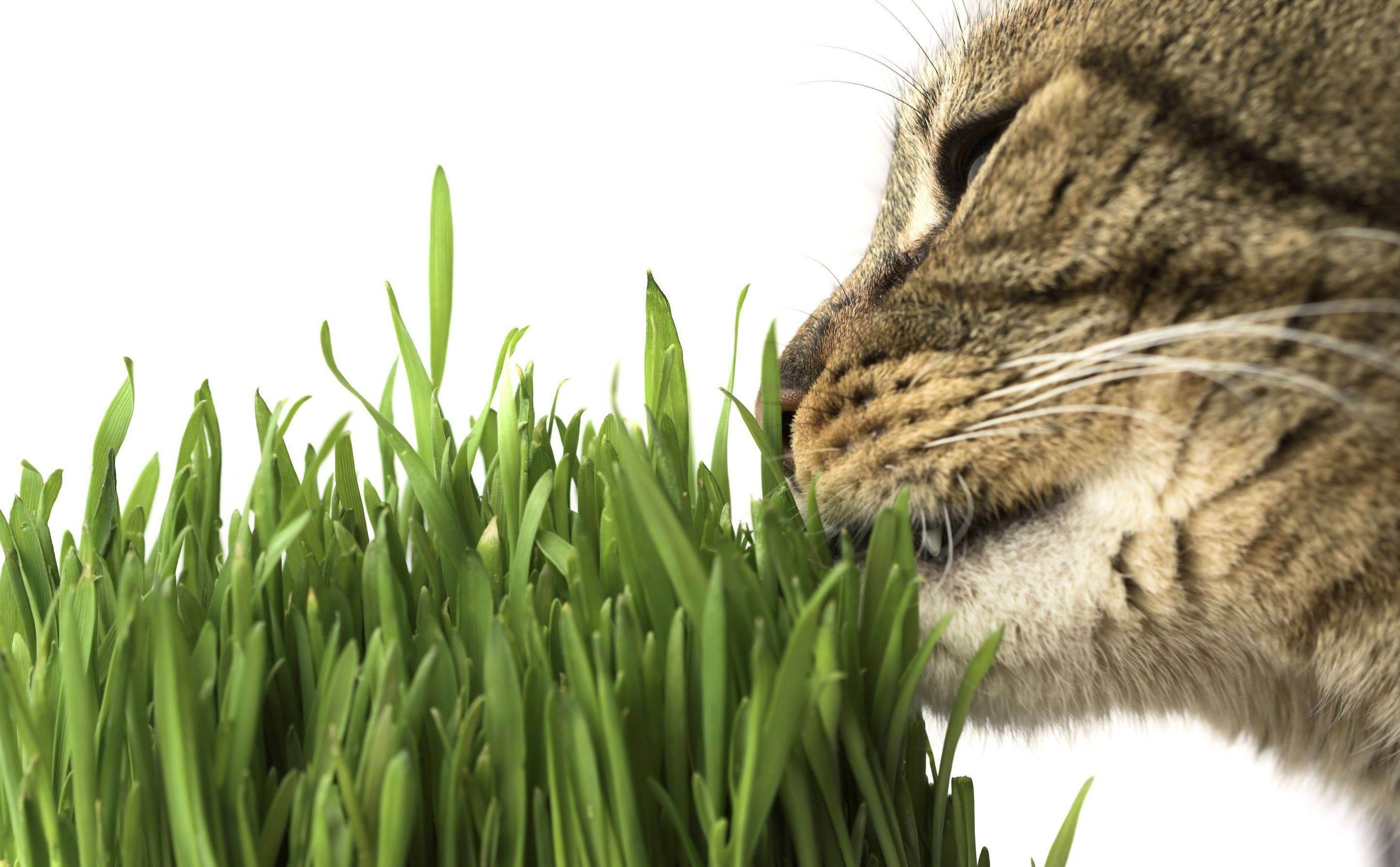 Какую траву посадить для кота дома
