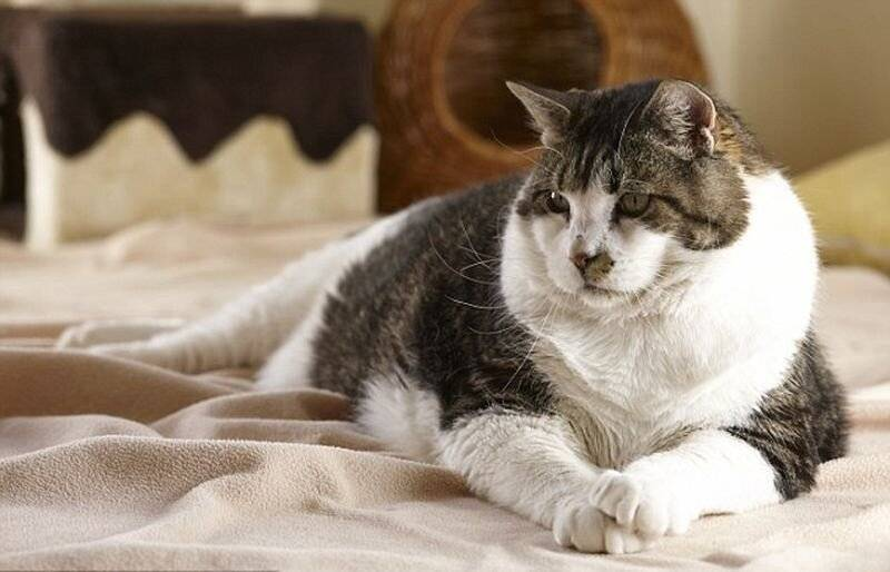 Самые толстые коты в мире. самые умные породы кошек. самые большие домашние кошки. самая быстрая кошка в мире
