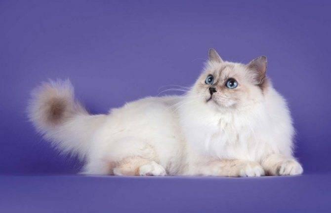 Короткошерстные породы кошек   коты с короткой шерстью с фото и названиями