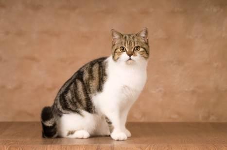 Скоттиш-фолд: история породы, внешность, здоровье и покупка кошки