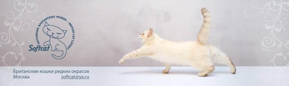 Как играть с британским котенком