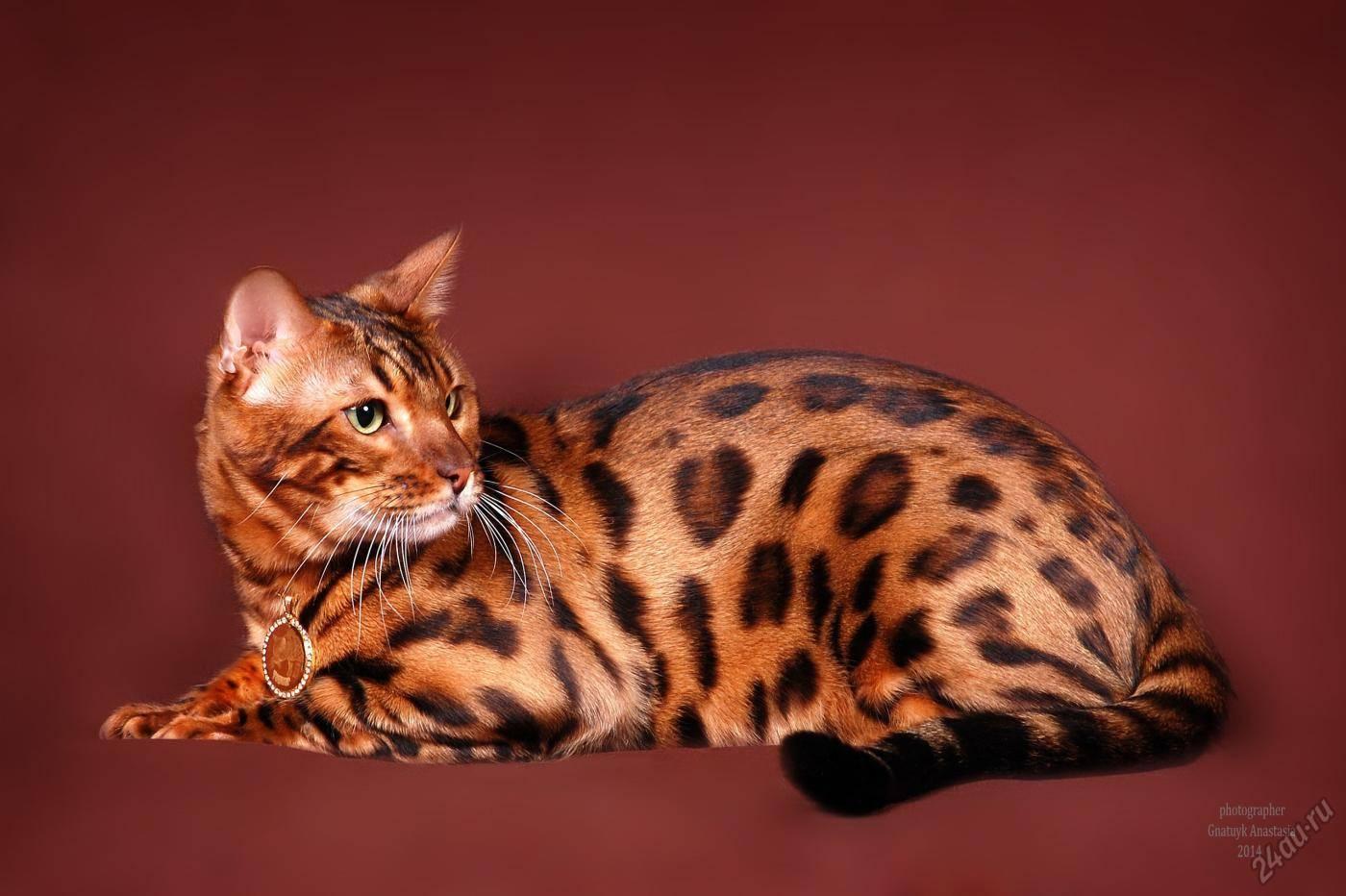Бенгальская кошка - описание породы, характер, фото, видео, отзывы, цена...