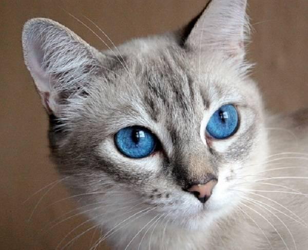 Серые коты: топ-15 пород с дымчатым окрасом