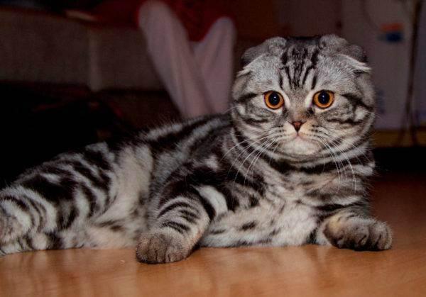 Срок жизни вислоухих шотландских кошек: средний возраст домашних животных и как его увеличить