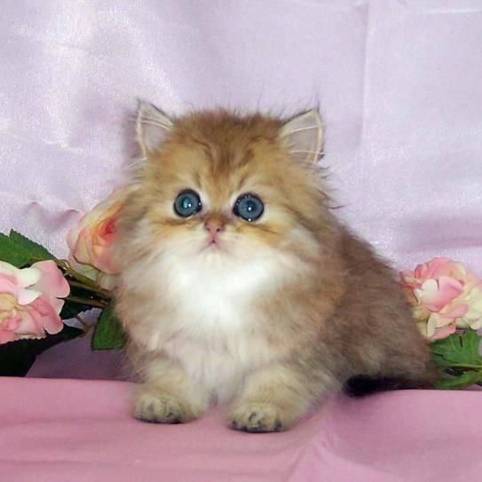 Топ 10: самые маленькие породы кошек в мире с названиями, описанием и фото