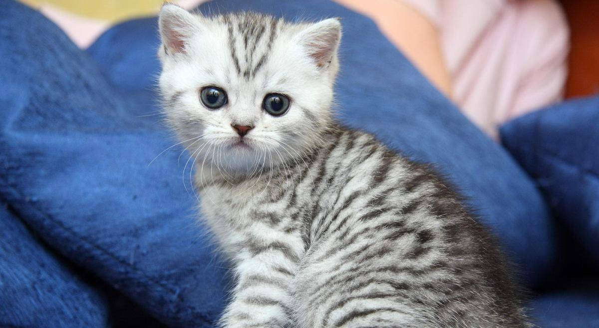 """Порода кошки из рекламы """"вискас"""" - характер, окраса, особенности поведения и стоимость"""