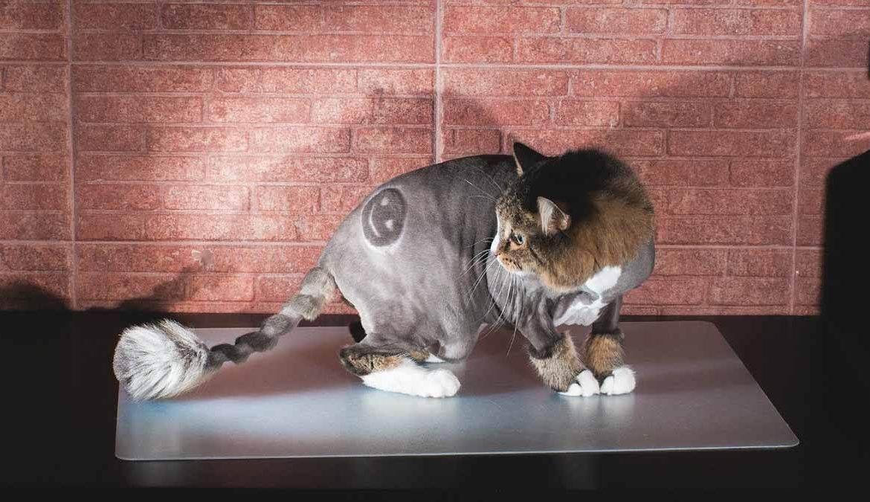 Груминг британских кошек ' кошки '