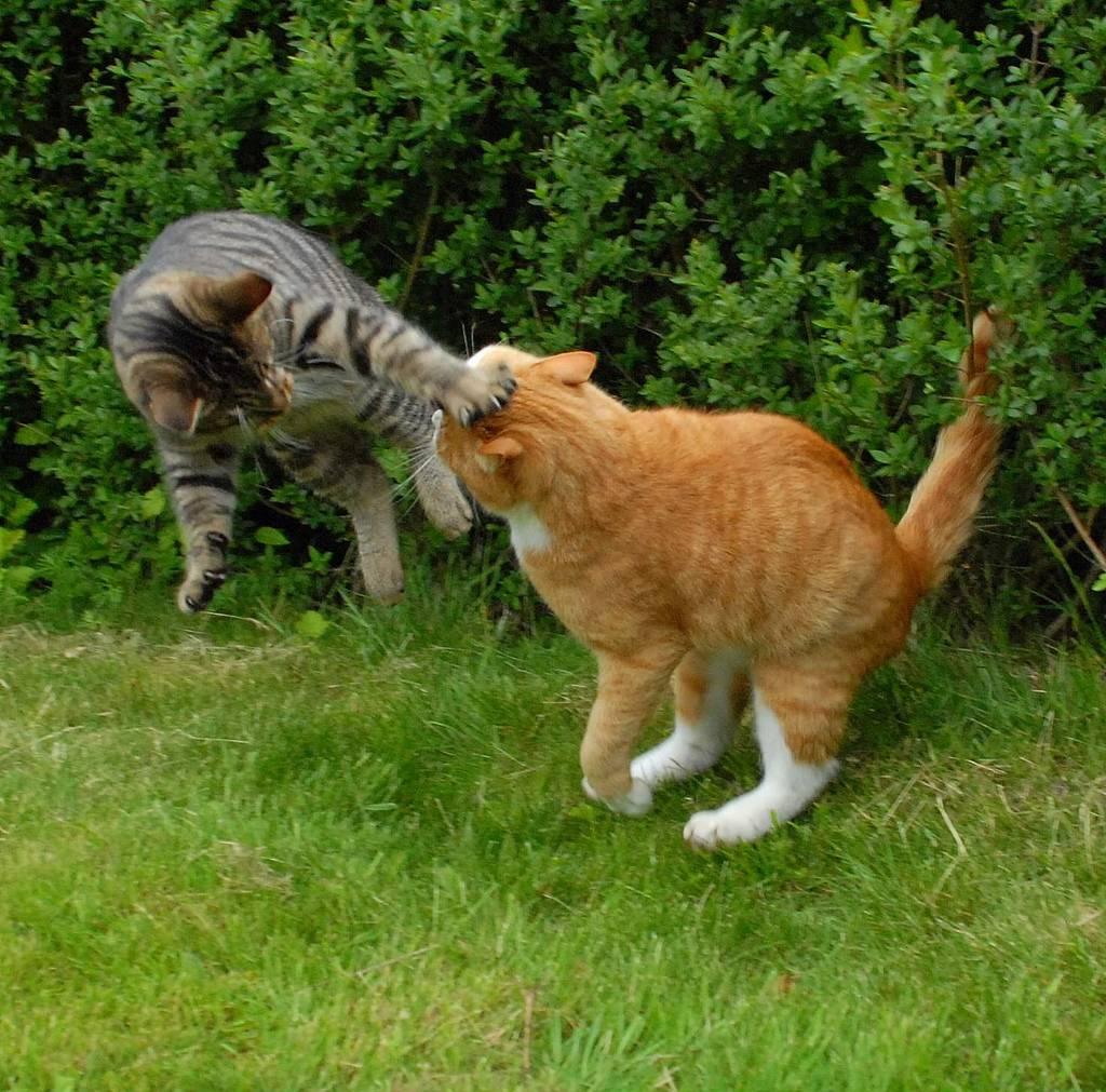 Драки кошек – причины и решения   все о кошках