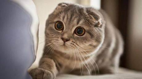 Шотландская кошка (71 фото): описание котят-шотландцев, характер котов. особенности видов. как выглядят и как приучить к лотку? отзывы владельцев