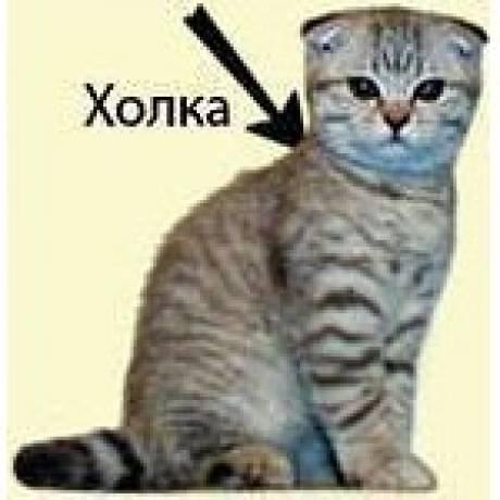 Как определить породу кота/кошки по фото или очевидным признакам