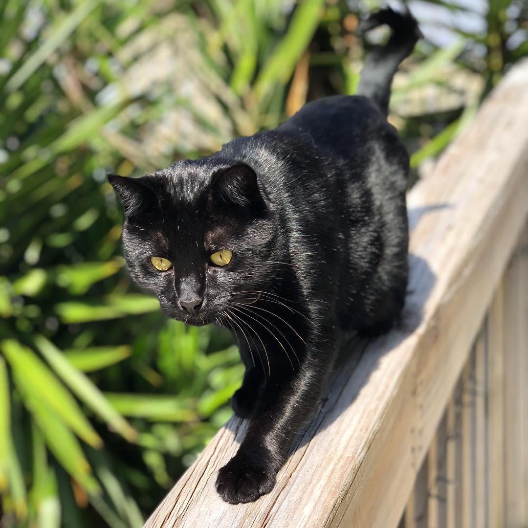 Бомбейская кошка — описание породы и характера