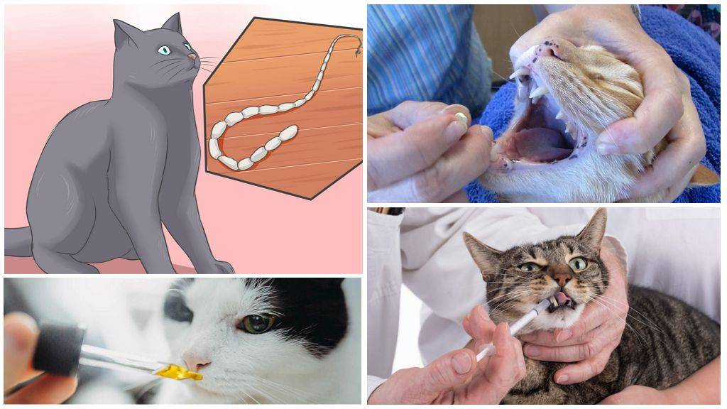 Гельминты кошек – какие существуют, признаки и методы лечения