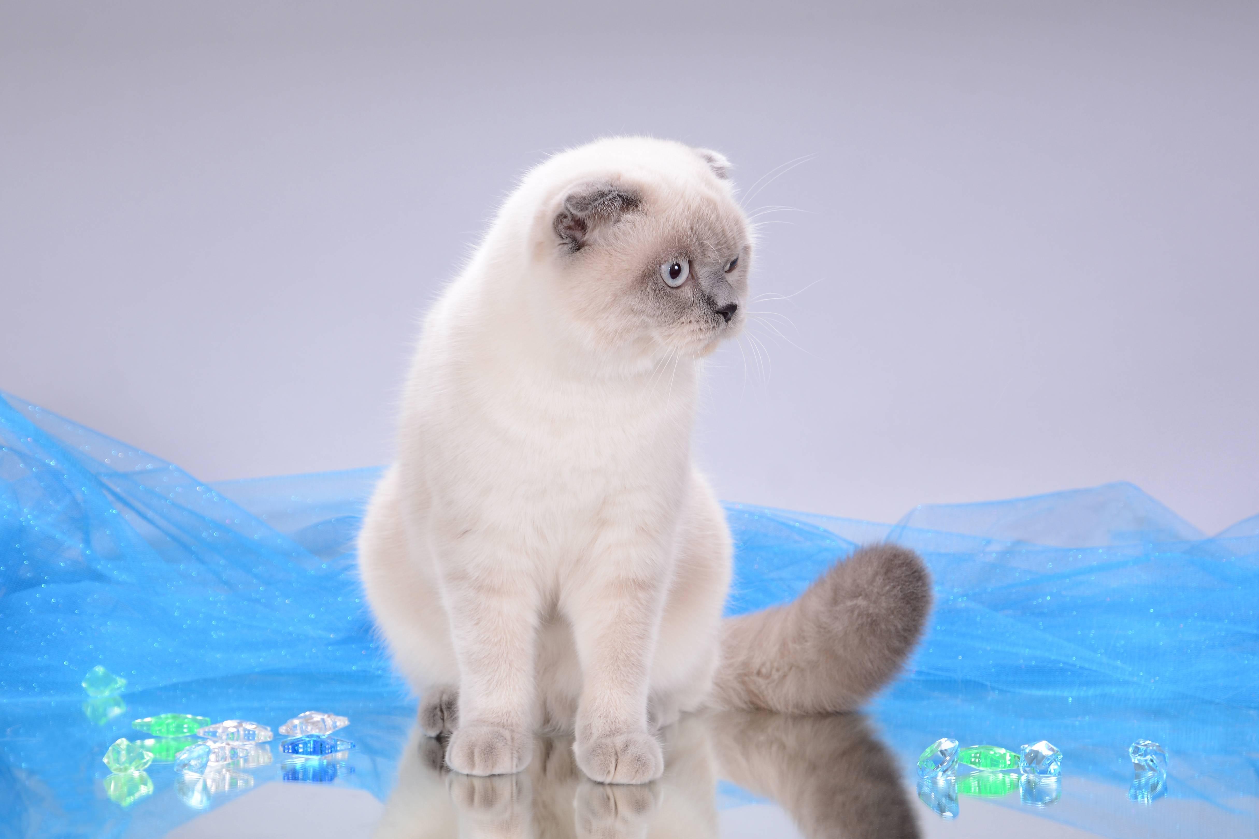 Шотландский котенок окрас блю поинт фото