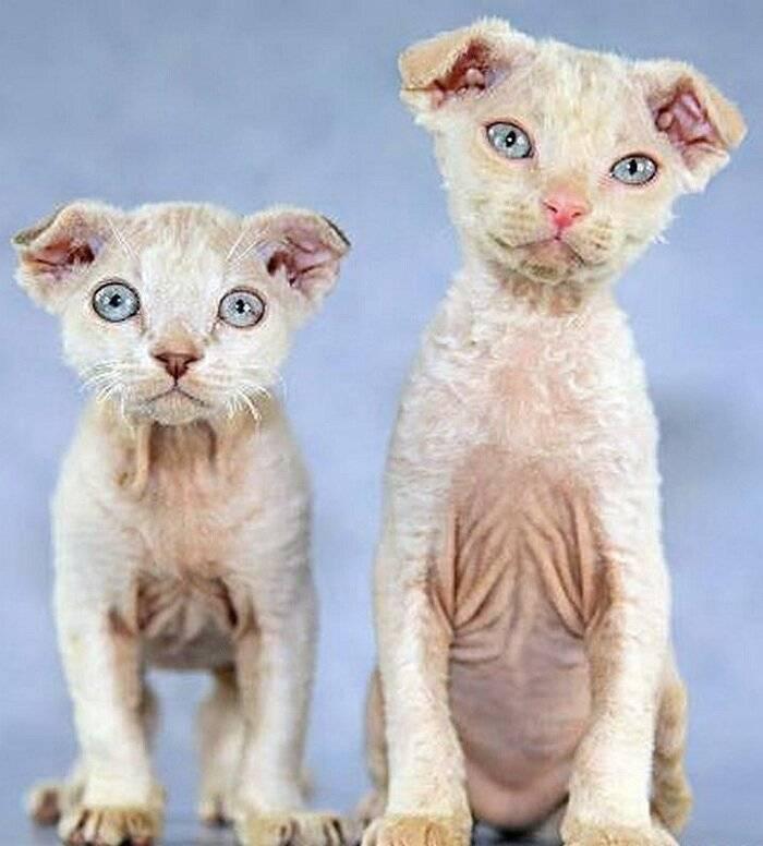 8 пород кошек с «неправильными» ушками