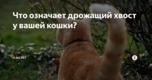Тремор у кошек – что это значит, почему животное дрожит, как будто ему холодно