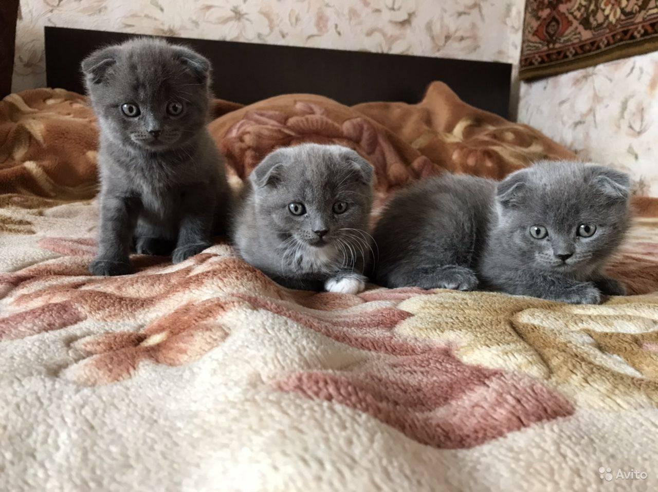 Можно ли сводить вислоухую кошку с вислоухим котом: как правильно скрещивать шотландцев