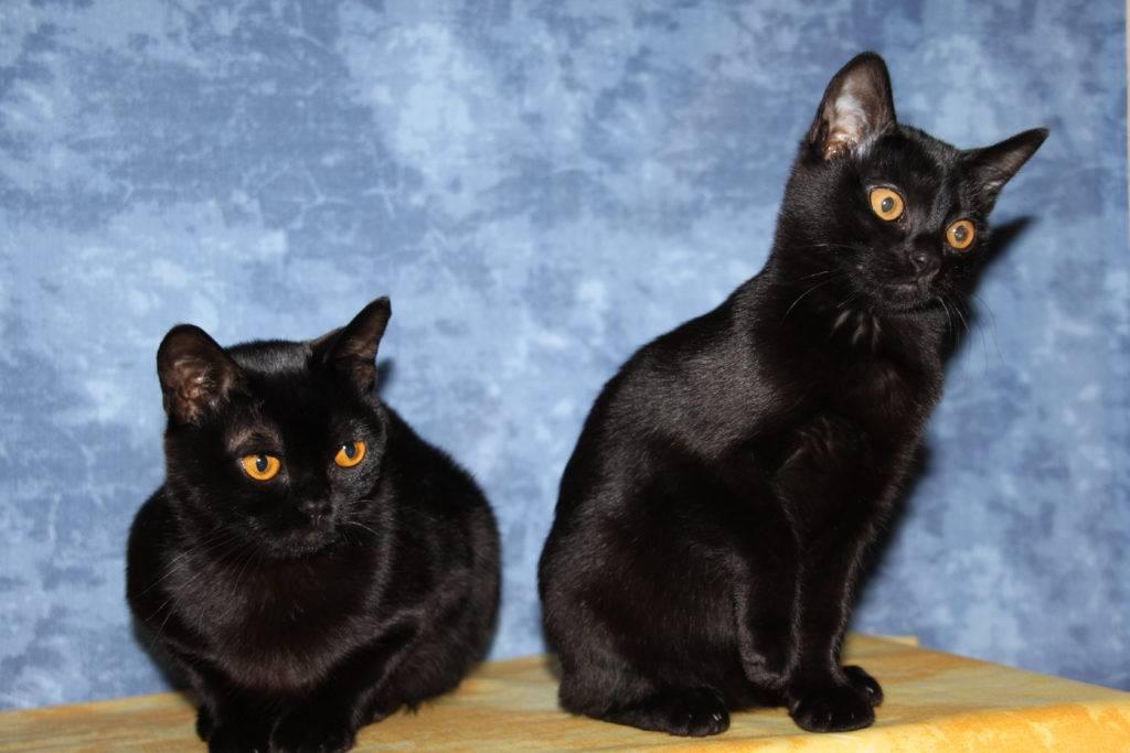 Чёрно-белый кот: разведение и перечень пород с фото
