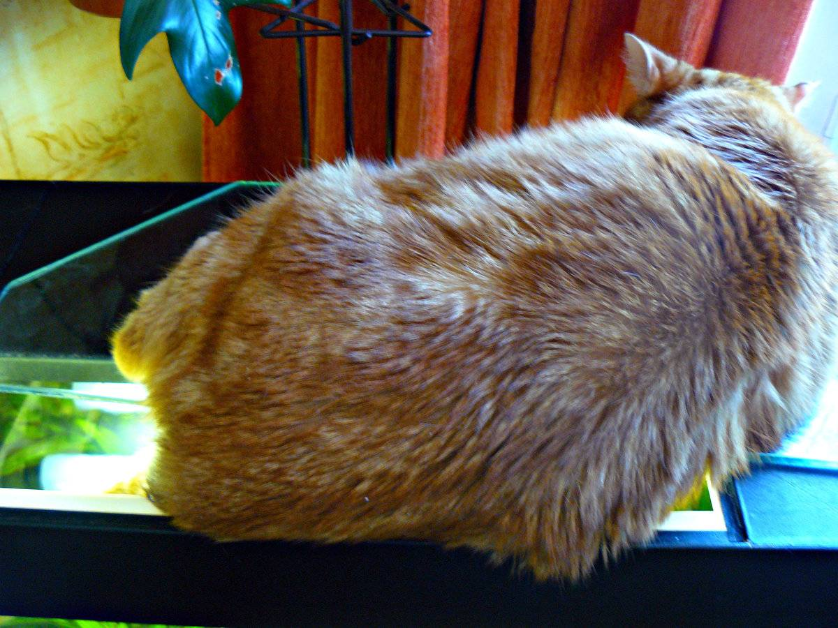 Как посадить кошку на диету