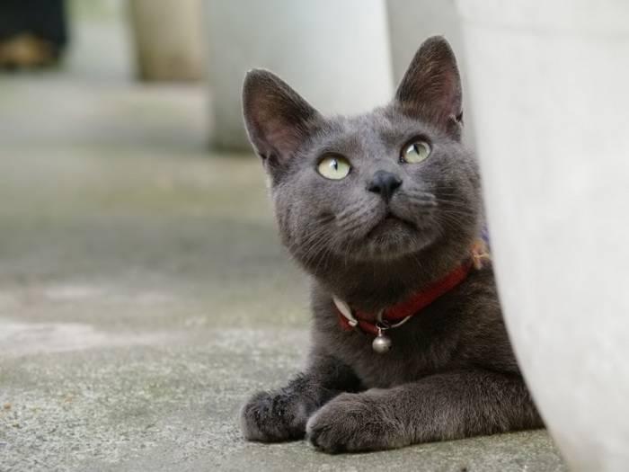 Черная сибирская кошка (20 фото): описание породы, особенности окраса, тонкости ухода за взрослыми котами и котятами