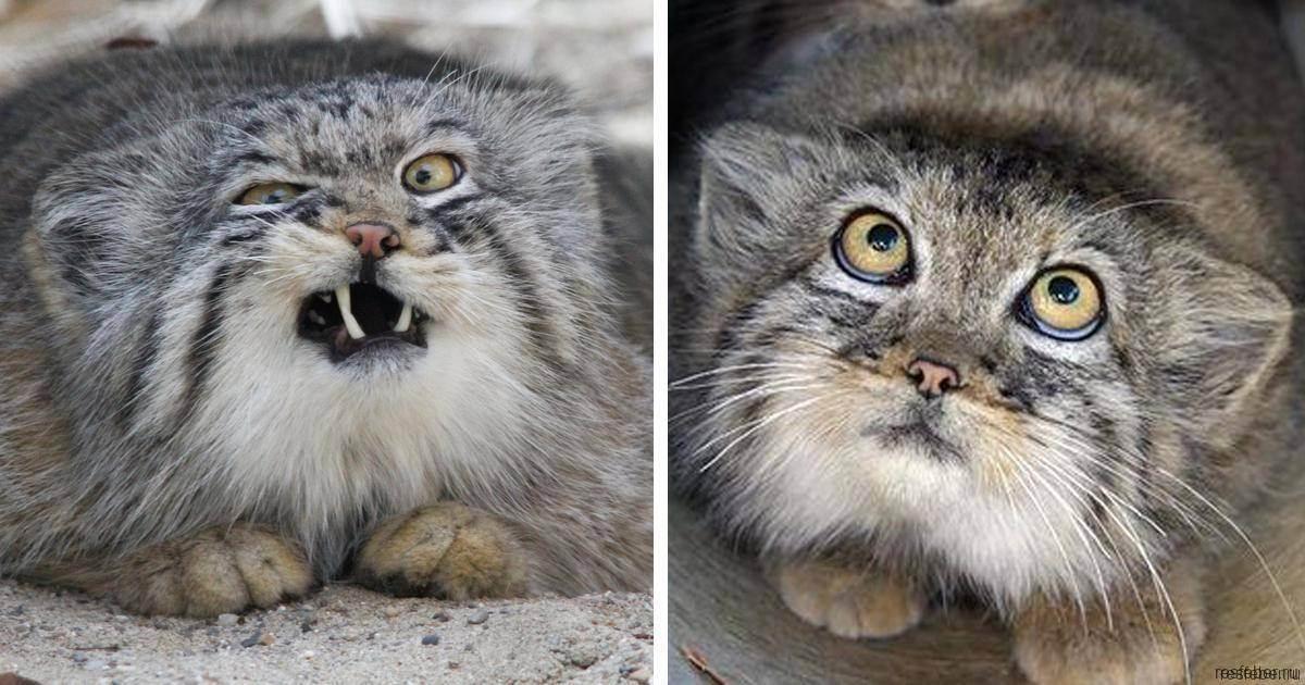 Самые опасные кошки в мире - топ 10 домашних пород