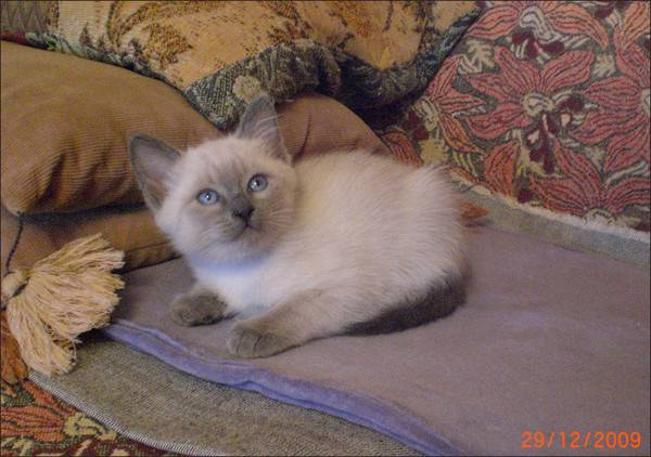 Как назвать сиамского кота
