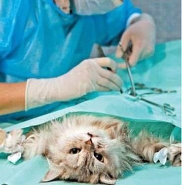 Какие существуют методы стерилизации кошек и альтернативы операции?