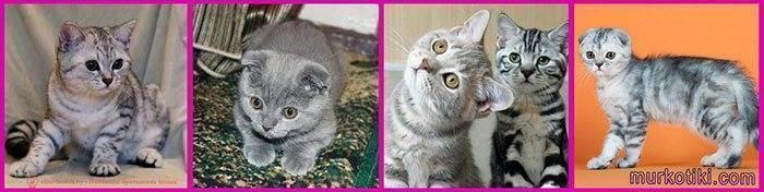 Что делать если британский кот сильно линяет? кошка сильно линяет. что делать и как правильно ухаживать за шерстью