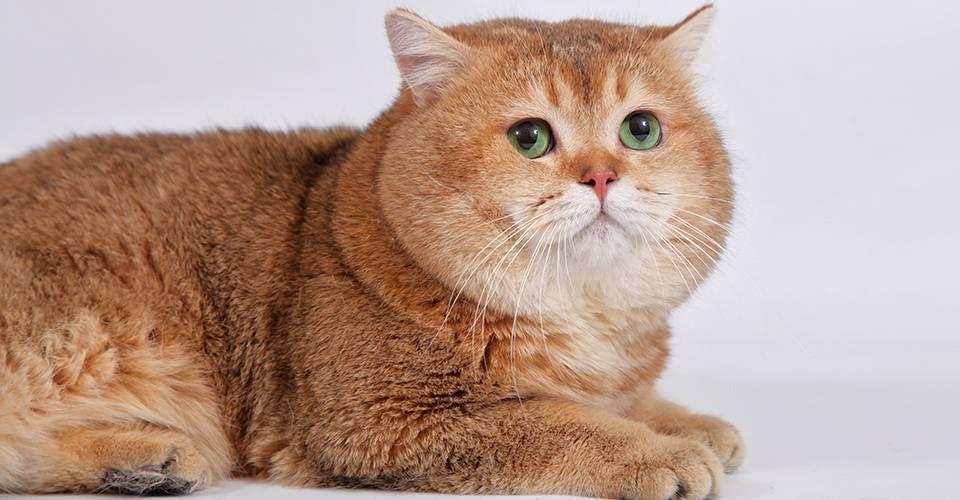 """Питомник британских короткошерстных кошек """"bring joy"""""""