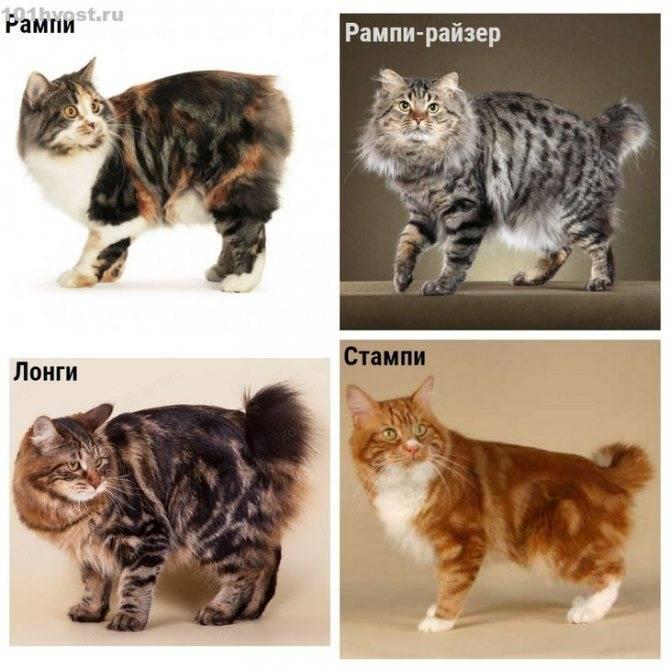 Кимрик: покупка котенка (фото) сколько стоит кимрик, и где его можно купить? как выбрать здорового котенка кимрика? есть ли проблемы в разведении данной породы?