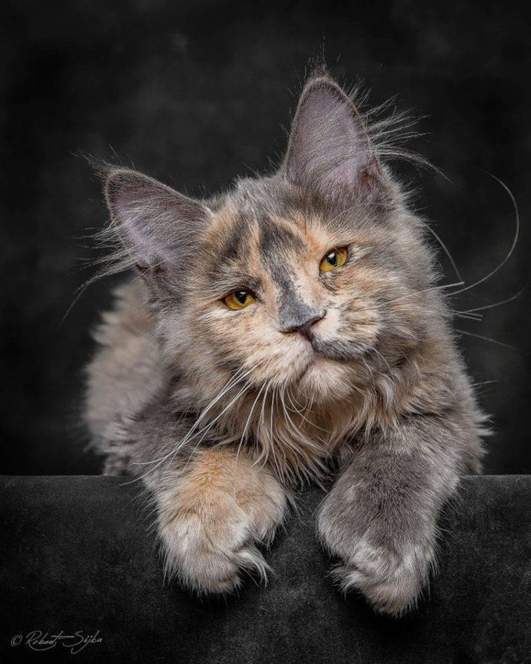 Порода мейн-кун – гигант среди домашних кошек