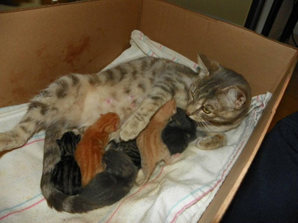Сколько кошка вынашивает котят - длительность беременности кошки