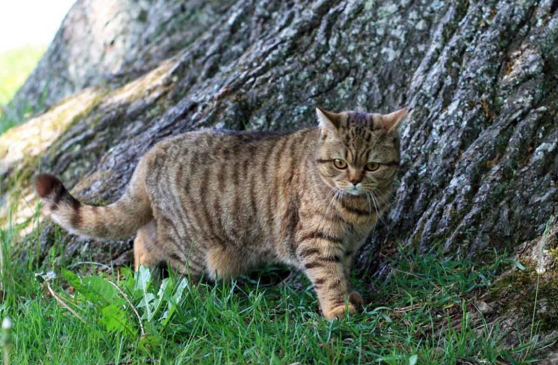 У кошки висит кожа на животе, курдюк у кошек