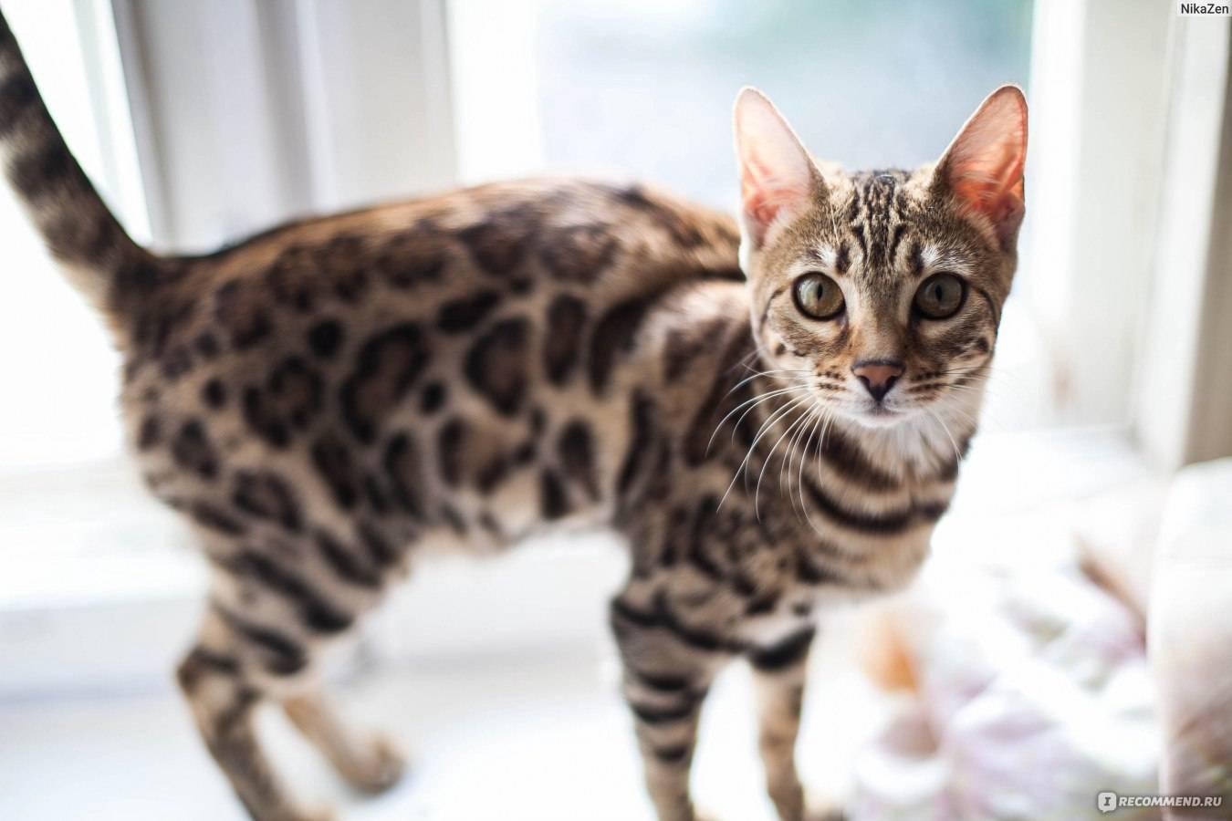 Бенгальская кошка: порода, описание, характеристики, размер домашней особи, история, как выглядит взрослая и котенок