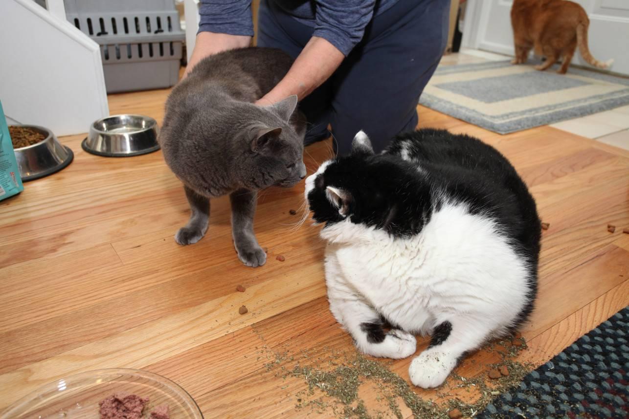 Самые тяжелые коты в мире и их хозяева - фото, интересные факты.