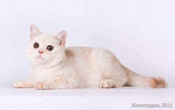 Характер британских кошек (37 фото): описание породы, особенности поведения, привычки, повадки, достоинства и недостатки британских котов