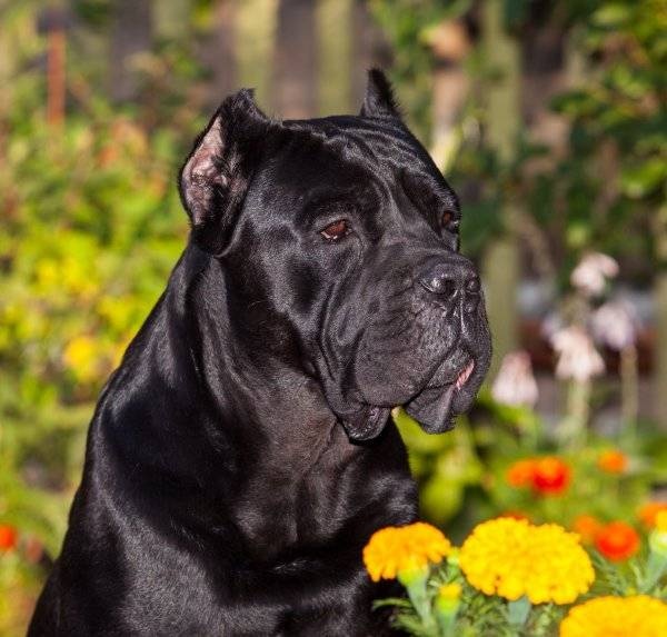 Описание и содержание собак породы кане корсо в домашних условиях